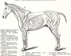 1897Antique HORSE ANATOMY print,  Musculature and skeleton of the horse, zoologist art lithograph