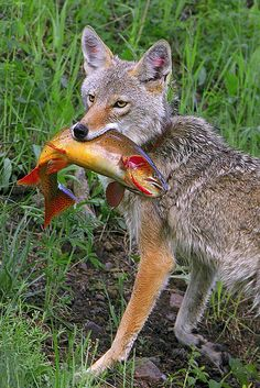 Coyote with Cutthroat Trout / Doug Dance