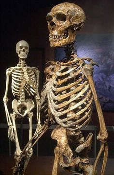 A reconstructed Neanderthal skeleton, right, with a modern human skeleton.Photo: AP    Australian scientists have re-dated a collection of Neanderthal bones from southern Europe and found they are about 10,000 years older than first thought.    The new evidence means many of the region's Neanderthal specimens may be much older than previous studies suggest, and casts doubt on the date archaeologists believe the human subspecies became extinct.