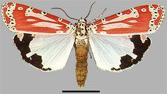 Rattlebox Moth (Utetheisa ornatrix) 3.3 - 4.6 cm North America *complex mating https://en.wikipedia.org/wiki/Utetheisa_ornatrix