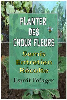 Planter Cultiver Des Choux Fleurs Au Potager Semer Entretenir