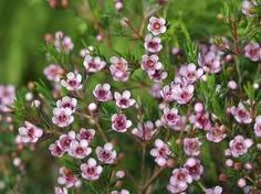 Chamelaucium x Verticordia 'Eric John' part of the Myrtaceae family with Pink flowers flowering in Winter-spring avaliable from Australian Native Plants located in Ventura, CA Australian Native Garden, Australian Native Flowers, Australian Plants, Garden Shrubs, Landscaping Plants, Native Australians, Wax Flowers, Wedding Flowers, Evergreen Shrubs