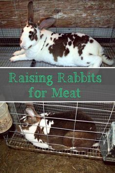 Raising Rabbits for Meat: why we did, but don't any more.