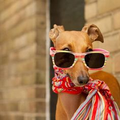 'Stranger Danger': Reduce Your Dog's Anxiety When Meeting People Does your pet suffer from stranger danger anxiety? Stranger Danger, Dog Anxiety, Dog Clothes Patterns, Dog Teeth, Pet Clothes, Dog Clothing, Dog Sweaters, Italian Greyhound, Dog Dresses