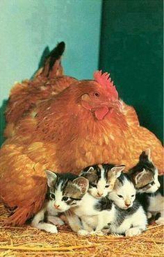 Hen warms kittens