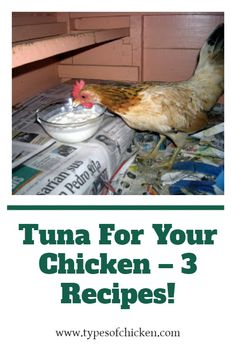 Have you ever given tuna fish to your chickens, if you haven`t there are many reasons you should start doing it now. Chickens LOVE tuna, I don't know why, but it is good that they love it because tuna is very healthy for them to eat.