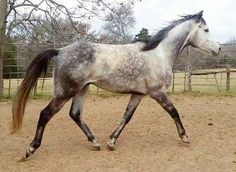We're happy to share that Pure River has been adopted to a wonderful home!  PURE RIVER - $350 6 year old 16h TB gelding looking for a light riding or companion home.  This stunningly gorgeous guy was restarted …