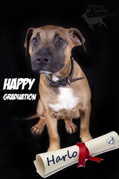Graduation time 🎓 It's an important rite of passage for many youngsters. They strive hard to make something of themselves through education, give themselves a chance in life and prove their capabilities to the world.    And it's in that spirit that we say a heartfelt CONGRADUATIONS to our latest batch of Puppy School certified graduates - Harlo the short-haired staffy, Sumyi the fabulously fluffy rough collie, and Milo the chocolate labarador.    You are all a credit to your hard work and dedic Puppy School, Strive Harder, Dog Stories, Rough Collie, Rite Of Passage, Anti Stress, State Art, Hard Work, Cute Puppies