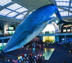 La grande baleine bleue du Muséum d'Histoire Naturelle de New York