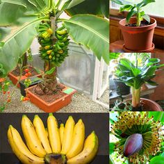 Cheap Egrow 200Pcs Graden Banana Seeds Outdoor Dwarf Fruit Trees Banana Milk Taste Perennial Potted Fruit is on sale at discount prices now, buy Egrow 200Pcs Graden Banana Seeds Outdoor Dwarf Fruit Trees Banana Milk Taste Perennial Potted Fruit and be satisfied Mobile.