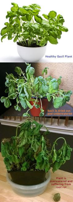 How to tell the difference between Over-watering & Under-watering a plant! These 3 pics show a basil plant (Healthy, Under-watered, & Over-watered). Barely a difference between the unhealthy plants-they both are wilting and dropping leaves! You need to check the soil: Is it wet or dry when you stick your finger in it? If you smell the plant & it smells bad (especially at roots), it's probably root rot. A plants roots that sit in stagnant water cannot get oxygen & will die.