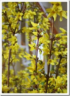 How to FORCE Forsythia branches for gorgeous winter blooms in your home!