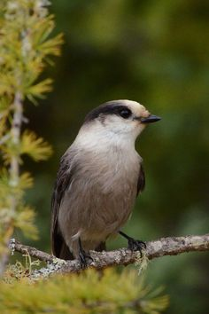 Gray Jay (Perisoreus canadensis)   Capture Minnesota Photo Contest -  by Janelle Streed