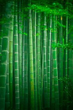 Bamboo forest park Japan, by Roberto Adrian Green Nature Wallpaper, Bamboo Wallpaper, Forest Wallpaper, Leaves Wallpaper, Bamboo Garden, Bamboo Plants, Green Plants, In Natura, Green Park