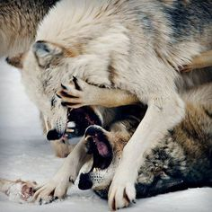 White wolf:i told you i was on my period and didnt want chocolate so lay off! other wolf:Ok i got it now. Wolf Spirit, Spirit Animal, Beautiful Creatures, Animals Beautiful, Wolves Fighting, Play Fighting, Tier Wolf, Canis Lupus, Baby Animals