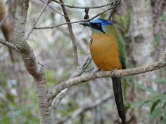 Udu - pássaro símbolo de Bonito - MS
