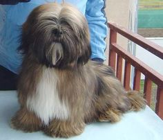 Lhasa Apso Brown and White, looks like my dog Gonzo !!