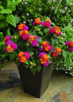 Lantana, Bandana: Cherry Sunrise - Great for container gardening, hanging baskets, window boxes Outdoor Flowers, Outdoor Plants, Lawn And Garden, Garden Pots, Jardin Decor, Container Flowers, Dream Garden, Flower Pots, Flower Planters
