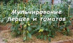 КАК ЛУЧШЕ МУЛЬЧИРОВАТЬ ПЕРЦЫ И ТОМАТЫПосле того, как вы высадили перцы или томаты в теплицу, их необходимо укутать соломой, или любой другой мульчой, например, можно щипой нехвойных пород (осиной, оль…