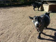 Our precious goats!