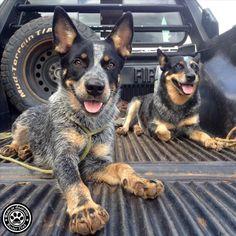 "Australian Cattle Dog no Instagram: ""@marisdenari _________________________________ #blueheelerclub #blueheeler #dog #australian #blueheelerdog #australiandog #blueheelermix #blueheeler #australiancattledog #boiadeiro #boiadeiroaustriano #ACD #veterinaria #medvet #heelernation #caoboiadeiro #heeler #medicinaveterinaria #redheeler"""