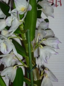 Orchidee Dendrobium Nobile Comment S En Occuper Orchidee