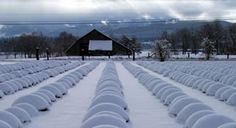 Lavender Snow Mounds