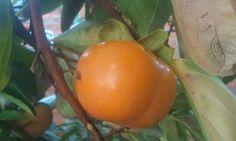 Kaki naranja