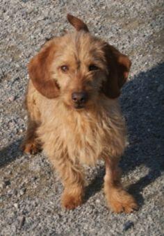 basset fauve de bretagne photo   Good : chien croisé basset fauve de bretagne à adopter dans la ...