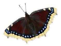 Suruvaippa Moth, Insects, Animals, Animales, Animaux, Animal, Animais