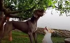Daily Cute: Great Dane Helps Terrier Pick Apples | Care2 Causes