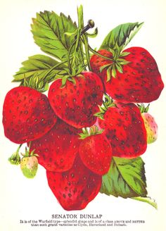 Antique Images: Strawberry Clip Art: Vintage Seed Catalog Strawberry ...