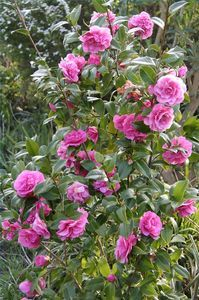 How to Take Care of Rose Bushes thumbnail