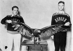 "Auburn's greatest football cry, War Eagle, took on feathered form in 1930 when this golden eagle was found on a farm near Auburn entangled in thick pea vines. Bought for ten dollars by local businessmen, the eagle was turned over to the A-Club. Cheerleaders DeWit Stier (left) and Harry ""Happy"" Davis, later executive secretary of the Alumni Association, helped care for the new mascot, which quickly proved a good omen. Auburn hadn?t beaten a Southern Conference football foe in four seasons until the eagle attended the 25-7 victory over South Carolina at Columbia in the last game of 1930."