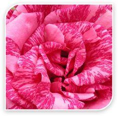 Delbard French Roses