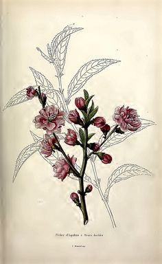 Double Flowered peach tree (1845) | Prunus persica 'd'Ispaha… | Flickr