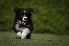 border collie puppy adorable