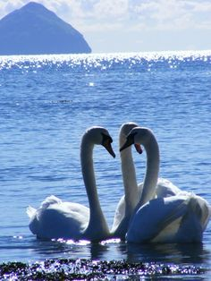 Swans at Kildonan beach,  Isle of Arran