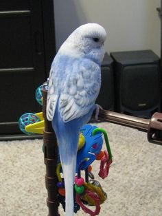 Parakeet: Sky blue, double violet factor, opaline spangle English Budgie