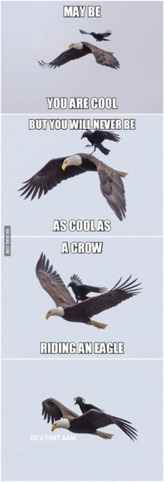 A crow riding an eagle Ok, I know this is photoshopped, but you have to ❤ the idea of it. And the interesting horn things the crow sports in the final frame.<br> More memes, funny videos and pics on 9gag Funny, Stupid Funny Memes, Funny Relatable Memes, Haha Funny, Funny Cute, Funny Stuff, Hilarious Quotes, Top Funny, Funny Facts