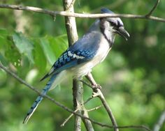 Indiana Backyard Birds   Recent Photos The Commons Getty Collection  Galleries World Map App ..