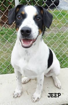UPDATE-ADOPTED! AVAILABLE 8/8! STRAY Tag# 2554 Name is Jeep Jack Russell Terrier Mix  Female-unsure of spay  Approx. 1-2 years old  Approx. 40-45 lbs.  Very friendly happy go lucky girl!!  https://www.facebook.com/267166810020812/photos/a.681013815302774.1073742048.267166810020812/681014711969351/?type=3&theater