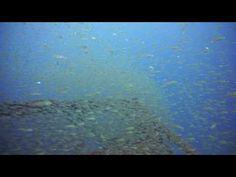 シニアがのんびり群れと遊び青い海 熱海沖初島のダイビング