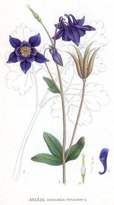 Aquilegia vulgaris. Carl Axel Magnus Lindman. 1901-1905