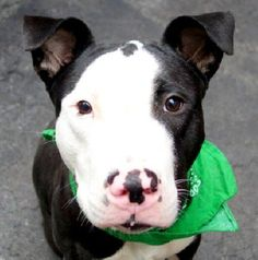 GONE - 11/19/14 Manhattan Center   My name is JONATHAN. My Animal ID # is A1020702. I am a male black and white pit bull. The shelter thinks I am about 1 YEAR  I came in the shelter as a STRAY on 11/14/2014 from NY 11233, owner surrender reason stated was STRAY.   For more information on adopting from the NYC AC&C, or to  find a rescue to assist, please read the following: http://urgentpetsondeathrow.org/must-read/