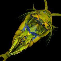 Marine Copepod
