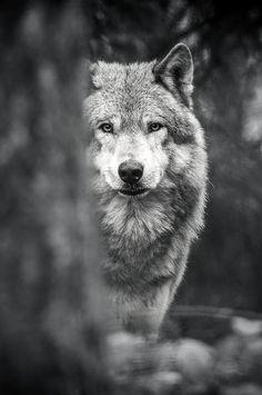 """wavemotions: """"Wolf by Jeffrey Van Daele """""""