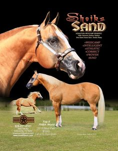 Sheiks Sand; 1996; Palomino stallion; (Staint Alone x Sheiks Relay); Breeder: H. J. Wiescamp; Owner: Brees Ranch, TX.