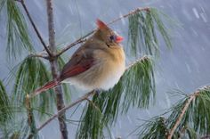 Female cardinal by Philip Schwarz - Pixdaus