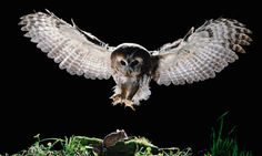 A tawny owl. Fantastic, provided you're not a mouse. Photograph: Renaud Visage/Getty Images